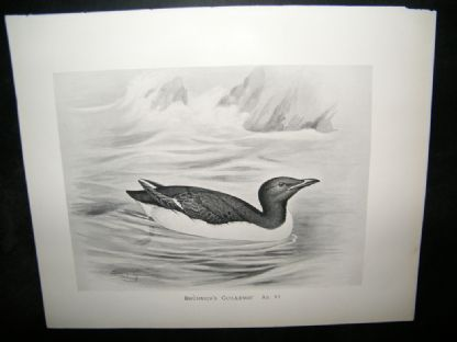 Frohawk 1898 Antique Bird Print. Brunnich's Guillemot | Albion Prints